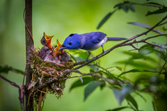 Male Black-naped monarch. (Hypothymis azurea) put insect to his pubs in nature at Kaengkrajarn national park,Thailand royalty free stock image