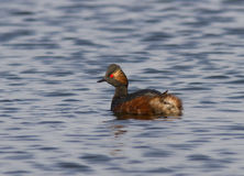 Male Black-necked grebe (Podiceps nigricollis) Stock Photos