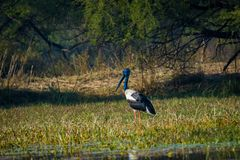 Male Black-necked stork searching for bird to kill in a winter morning. An alert male Black-necked stork searching for bird to kill in a winter morning at royalty free stock image