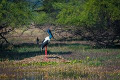 Male Black-necked stork searching for bird to kill in a winter morning. An alert male Black-necked stork searching for bird to kill in a winter morning at royalty free stock photography