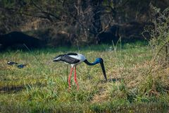 Male Black-necked stork searching for bird to kill in a winter morning. An alert male Black-necked stork searching for bird to kill in a winter morning at royalty free stock photo