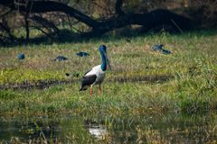 Male Black-necked stork searching for bird to kill in a winter morning. An alert male Black-necked stork searching for bird to kill in a winter morning at stock images