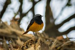 A male black redstart in a beautiful light sitting on a perch at keoladeo national park. Bharatpur, rajasthan, india stock photography