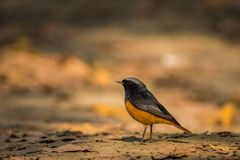 A male black redstart in a beautiful light sitting on a perch at keoladeo national park. Bharatpur, rajasthan, india royalty free stock photo