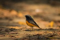 A male black redstart in a beautiful light sitting on a perch at keoladeo national park. Bharatpur, rajasthan, india stock photos