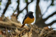 A male black redstart in a beautiful light sitting on a perch at keoladeo national park. Bharatpur, rajasthan, india royalty free stock photography