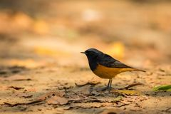 A male black redstart in a beautiful light sitting on a perch at keoladeo national park. Bharatpur, rajasthan, india royalty free stock photos