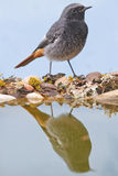 Male Black redstart Stock Photos