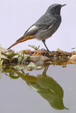 Male Black redstart Royalty Free Stock Image