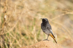 Male Black Redstart (Phoenicurus ochruros) Stock Photography