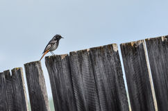 Male Black Redstart on plank Stock Photos