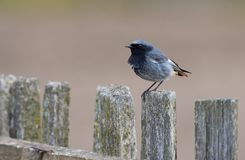 Male Black Redstart perched on an aged wooden fence with clean background royalty free stock photo