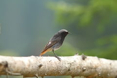 Male black redstart on wood fence Royalty Free Stock Photos