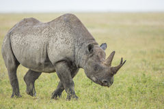 Male Black Rhino (Diceros bicornis) Tanzania Royalty Free Stock Images