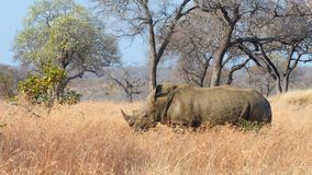Male Black Rhino Royalty Free Stock Photos