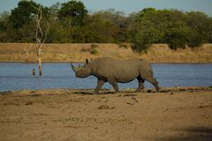 Male Black Rhino. A Male Black Rhino on his way to have a drink of water. Getting a full bodied photo like this is very difficult, as they usually hide away Stock Image