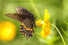 Male Black Swallowtail with Extended Proboscis. A male Black Swallowtail Butterfly nectars on the stamen of a yellow cosmos flower stock images