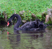 Male Black Swan. Black Swan near cypress knees and the bank at Swan Lake and Iris Gardens in Sumter, SC looking for food in the water Royalty Free Stock Photos