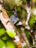 Male Black-tailed Antbird Stock Photos