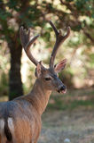 Male black-tailed deer Stock Photo