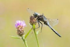 Male Black-tailed skimmer, Orthetrum cancellatum, closeup Stock Photography