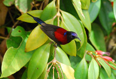 Male black throated sunbird Royalty Free Stock Photos