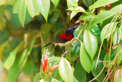 Male black throated sunbird Stock Photography