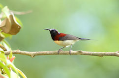 Male black throated sunbird Stock Image