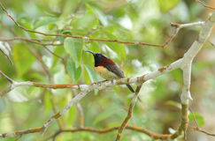 Male black throated sunbird Royalty Free Stock Photo