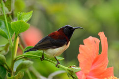 Male black throated sunbird. Beautiful male black-throated sunbird (Aethopyga saturata) with flower Stock Images