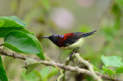 Male black throated sunbird. Beautiful male black-throated sunbird (Aethopyga saturata) on branch Stock Images
