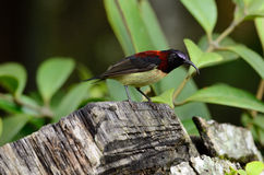 Male black throated sunbird Stock Photos
