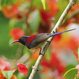 Male Black-throated Sunbird Stock Photography