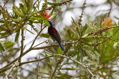 Male Black-throated Sunbird bird with metallic violet purple nap. E crown, red yellow blue feathers feeding on bottlebrush flower tree at Fraser's Hill Stock Photos