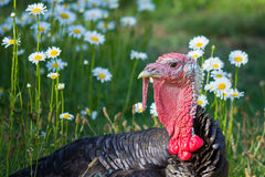 Male black turkey laying down in a field of daisies looking towa. Close up of a tom turkey at rest in a field of daisies Stock Images