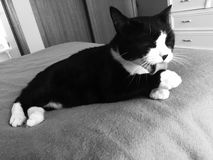 Male Black and White Cat Bathing Stock Images