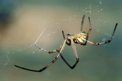 Male Black Widow Spider. A male Black Widow spider hangs upside down in his web awaiting his prey. Basically harmless, the male lacks the dangerous toxins found Royalty Free Stock Photo