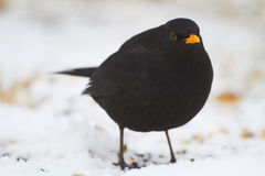 Male Blackbird Stock Photos