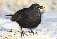 Male Blackbird Royalty Free Stock Images