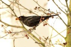 Male Blackbird Royaltyfri Bild