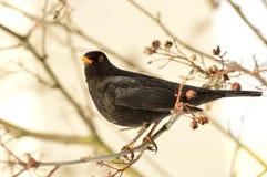 Male Blackbird Arkivbilder