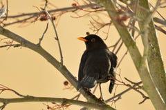Male Blackbird Arkivbild