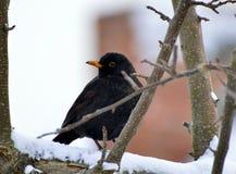 Male Blackbird Royaltyfri Fotografi