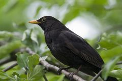 Male blackbird close-up. Adult male blackbird in tree closeup facing sideways to left royalty free stock images