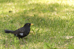 Male blackbird (close up blackbird) close up bird Royalty Free Stock Images
