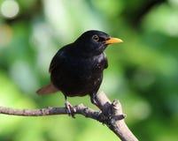 Male Blackbird Royalty Free Stock Photography