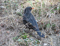 Male blackbird closeup Royalty Free Stock Images