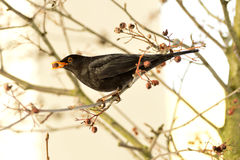 Male blackbird. Eats rowan found in the cold morning Royalty Free Stock Image