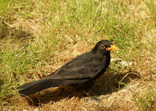 Male blackbird feeding Royalty Free Stock Photos