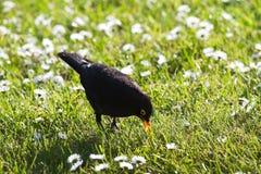 Male Blackbird feeding on grass Royalty Free Stock Images